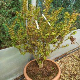 Acer palmatum 'Koto Hime'