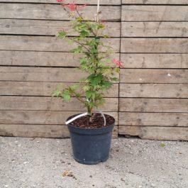 Acer palmatum 'Kasagi Yama'