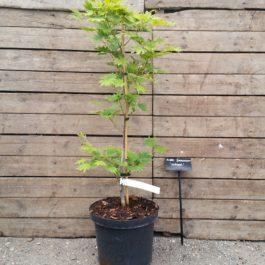 Acer japonicum 'Nakaï'