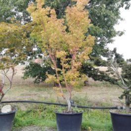 Acer palmatum 'Sango Kaku' ou 'Senkaki'