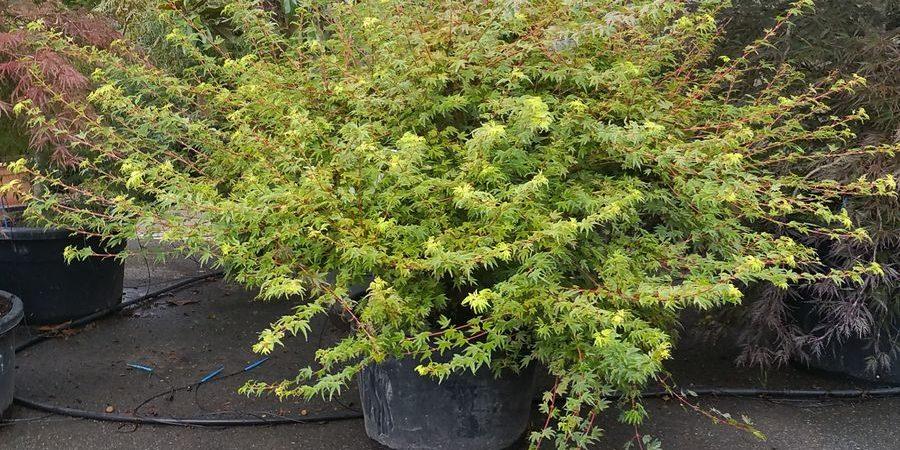 Acer palmatum 'Berry Broom'