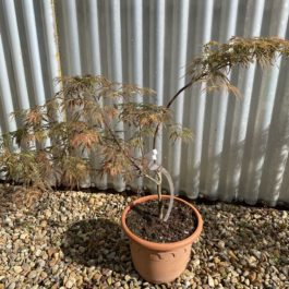 Acer palmatum dissectum 'Emma'