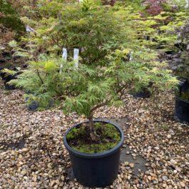 Acer palmatum dissectum 'Felice'