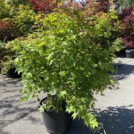 Acer palmatum 'Beni Musume'