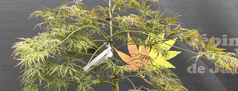 Acer palmatum dissectum 'Crimson Prince'