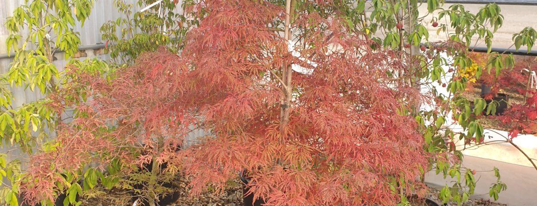 Acer palmatum dissectum 'Nomura Nishiki'